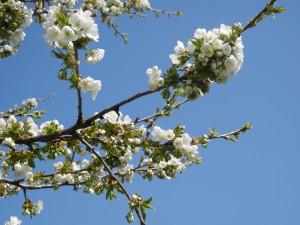 Kirschblüten 13 (2)