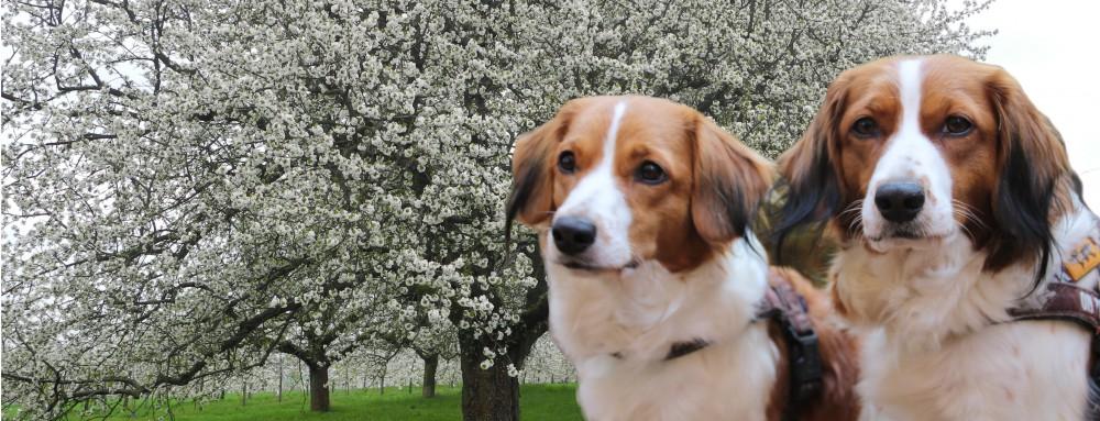 vom Kirschblütenmeer